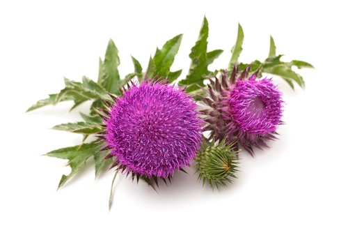 hepatitis milk thistle