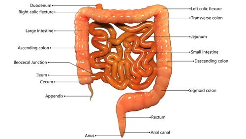 Healthy bowel function